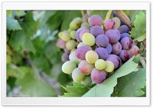 Kurdistan-Nature-Grapes Ultra HD Wallpaper for 4K UHD Widescreen desktop, tablet & smartphone