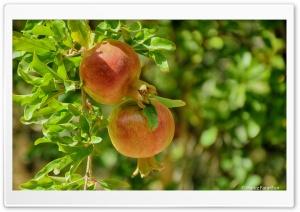 Kurdistan-Nature-Pomegranate Ultra HD Wallpaper for 4K UHD Widescreen desktop, tablet & smartphone