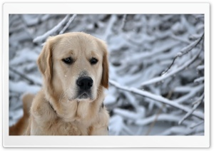 Labrador Retriever, Winter HD Wide Wallpaper for 4K UHD Widescreen desktop & smartphone