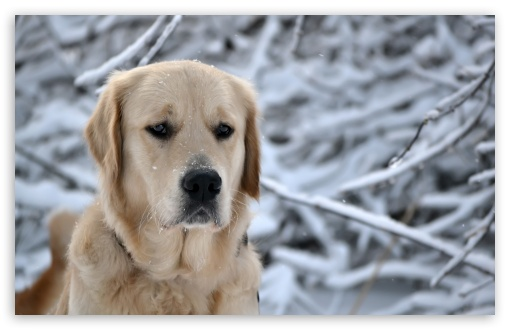 Labrador Retriever, Winter HD wallpaper for Wide 16:10 5:3 Widescreen WHXGA WQXGA WUXGA WXGA WGA ; HD 16:9 High Definition WQHD QWXGA 1080p 900p 720p QHD nHD ; Standard 4:3 5:4 3:2 Fullscreen UXGA XGA SVGA QSXGA SXGA DVGA HVGA HQVGA devices ( Apple PowerBook G4 iPhone 4 3G 3GS iPod Touch ) ; Tablet 1:1 ; iPad 1/2/Mini ; Mobile 4:3 5:3 3:2 16:9 5:4 - UXGA XGA SVGA WGA DVGA HVGA HQVGA devices ( Apple PowerBook G4 iPhone 4 3G 3GS iPod Touch ) WQHD QWXGA 1080p 900p 720p QHD nHD QSXGA SXGA ;