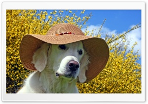 Labrador Wearing Beach Hat HD Wide Wallpaper for 4K UHD Widescreen desktop & smartphone