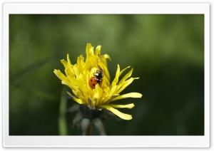 Lady Bug HD Wide Wallpaper for 4K UHD Widescreen desktop & smartphone