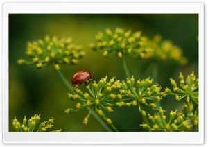 Lady Bug HD Wide Wallpaper for Widescreen