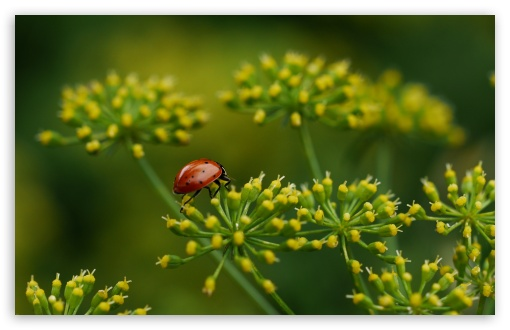 Lady Bug ❤ 4K UHD Wallpaper for Wide 16:10 5:3 Widescreen WHXGA WQXGA WUXGA WXGA WGA ; 4K UHD 16:9 Ultra High Definition 2160p 1440p 1080p 900p 720p ; Standard 4:3 5:4 3:2 Fullscreen UXGA XGA SVGA QSXGA SXGA DVGA HVGA HQVGA ( Apple PowerBook G4 iPhone 4 3G 3GS iPod Touch ) ; Tablet 1:1 ; iPad 1/2/Mini ; Mobile 4:3 5:3 3:2 16:9 5:4 - UXGA XGA SVGA WGA DVGA HVGA HQVGA ( Apple PowerBook G4 iPhone 4 3G 3GS iPod Touch ) 2160p 1440p 1080p 900p 720p QSXGA SXGA ;