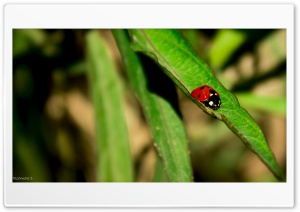Lady Bug By Chance HD Wide Wallpaper for Widescreen