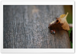 Lady Bug in Hiding HD Wide Wallpaper for 4K UHD Widescreen desktop & smartphone