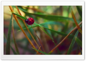 LADybeetle HD Wide Wallpaper for Widescreen