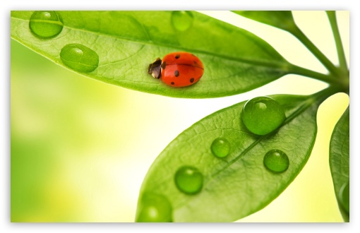 Ladybird HD wallpaper for Wide 16:10 5:3 Widescreen WHXGA WQXGA WUXGA WXGA WGA ; HD 16:9 High Definition WQHD QWXGA 1080p 900p 720p QHD nHD ; Standard 4:3 5:4 3:2 Fullscreen UXGA XGA SVGA QSXGA SXGA DVGA HVGA HQVGA devices ( Apple PowerBook G4 iPhone 4 3G 3GS iPod Touch ) ; Tablet 1:1 ; iPad 1/2/Mini ; Mobile 4:3 5:3 3:2 16:9 5:4 - UXGA XGA SVGA WGA DVGA HVGA HQVGA devices ( Apple PowerBook G4 iPhone 4 3G 3GS iPod Touch ) WQHD QWXGA 1080p 900p 720p QHD nHD QSXGA SXGA ;