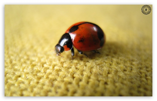 Ladybird HD wallpaper for Wide 16:10 5:3 Widescreen WHXGA WQXGA WUXGA WXGA WGA ; HD 16:9 High Definition WQHD QWXGA 1080p 900p 720p QHD nHD ; Standard 4:3 5:4 3:2 Fullscreen UXGA XGA SVGA QSXGA SXGA DVGA HVGA HQVGA devices ( Apple PowerBook G4 iPhone 4 3G 3GS iPod Touch ) ; Tablet 1:1 ; iPad 1/2/Mini ; Mobile 4:3 5:3 3:2 16:9 5:4 - UXGA XGA SVGA WGA DVGA HVGA HQVGA devices ( Apple PowerBook G4 iPhone 4 3G 3GS iPod Touch ) WQHD QWXGA 1080p 900p 720p QHD nHD QSXGA SXGA ; Dual 4:3 5:4 UXGA XGA SVGA QSXGA SXGA ;