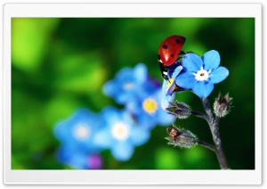 Ladybird Beetle HD Wide Wallpaper for Widescreen