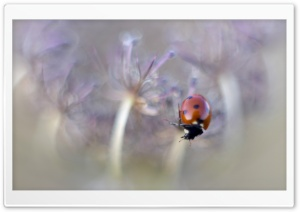 Ladybird Macro HD Wide Wallpaper for 4K UHD Widescreen desktop & smartphone
