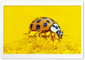 Ladybird Macro HD Wide Wallpaper for Widescreen