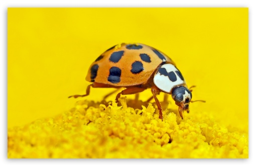 Ladybird Macro ❤ 4K UHD Wallpaper for Wide 16:10 5:3 Widescreen WHXGA WQXGA WUXGA WXGA WGA ; 4K UHD 16:9 Ultra High Definition 2160p 1440p 1080p 900p 720p ; Standard 4:3 5:4 3:2 Fullscreen UXGA XGA SVGA QSXGA SXGA DVGA HVGA HQVGA ( Apple PowerBook G4 iPhone 4 3G 3GS iPod Touch ) ; Tablet 1:1 ; iPad 1/2/Mini ; Mobile 4:3 5:3 3:2 16:9 5:4 - UXGA XGA SVGA WGA DVGA HVGA HQVGA ( Apple PowerBook G4 iPhone 4 3G 3GS iPod Touch ) 2160p 1440p 1080p 900p 720p QSXGA SXGA ;