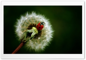Ladybird On A Dandelion HD Wide Wallpaper for 4K UHD Widescreen desktop & smartphone
