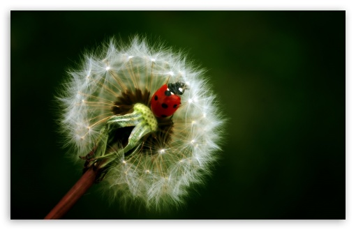Ladybird On A Dandelion ❤ 4K UHD Wallpaper for Wide 16:10 5:3 Widescreen WHXGA WQXGA WUXGA WXGA WGA ; 4K UHD 16:9 Ultra High Definition 2160p 1440p 1080p 900p 720p ; Standard 4:3 5:4 3:2 Fullscreen UXGA XGA SVGA QSXGA SXGA DVGA HVGA HQVGA ( Apple PowerBook G4 iPhone 4 3G 3GS iPod Touch ) ; Tablet 1:1 ; iPad 1/2/Mini ; Mobile 4:3 5:3 3:2 16:9 5:4 - UXGA XGA SVGA WGA DVGA HVGA HQVGA ( Apple PowerBook G4 iPhone 4 3G 3GS iPod Touch ) 2160p 1440p 1080p 900p 720p QSXGA SXGA ;