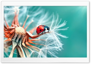 Ladybird on a Dandelion Seeds Macro HD Wide Wallpaper for Widescreen