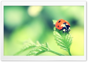 Ladybird On A Leaf HD Wide Wallpaper for 4K UHD Widescreen desktop & smartphone