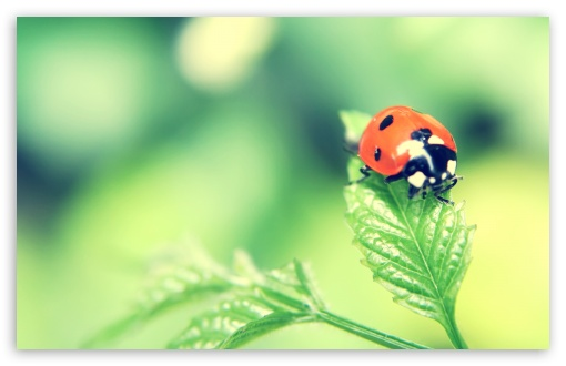 Ladybird On A Leaf ❤ 4K UHD Wallpaper for Wide 16:10 5:3 Widescreen WHXGA WQXGA WUXGA WXGA WGA ; 4K UHD 16:9 Ultra High Definition 2160p 1440p 1080p 900p 720p ; Standard 4:3 5:4 3:2 Fullscreen UXGA XGA SVGA QSXGA SXGA DVGA HVGA HQVGA ( Apple PowerBook G4 iPhone 4 3G 3GS iPod Touch ) ; Tablet 1:1 ; iPad 1/2/Mini ; Mobile 4:3 5:3 3:2 16:9 5:4 - UXGA XGA SVGA WGA DVGA HVGA HQVGA ( Apple PowerBook G4 iPhone 4 3G 3GS iPod Touch ) 2160p 1440p 1080p 900p 720p QSXGA SXGA ; Dual 16:10 5:3 16:9 4:3 5:4 WHXGA WQXGA WUXGA WXGA WGA 2160p 1440p 1080p 900p 720p UXGA XGA SVGA QSXGA SXGA ;