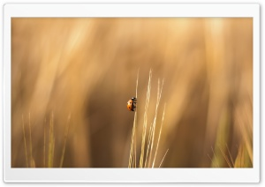 Ladybird On A Wheat Stalk HD Wide Wallpaper for 4K UHD Widescreen desktop & smartphone