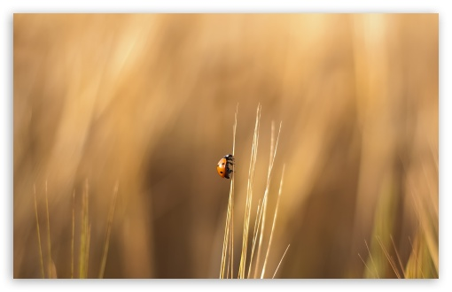 Ladybird On A Wheat Stalk HD wallpaper for Wide 16:10 5:3 Widescreen WHXGA WQXGA WUXGA WXGA WGA ; HD 16:9 High Definition WQHD QWXGA 1080p 900p 720p QHD nHD ; Standard 4:3 5:4 3:2 Fullscreen UXGA XGA SVGA QSXGA SXGA DVGA HVGA HQVGA devices ( Apple PowerBook G4 iPhone 4 3G 3GS iPod Touch ) ; Tablet 1:1 ; iPad 1/2/Mini ; Mobile 4:3 5:3 3:2 16:9 5:4 - UXGA XGA SVGA WGA DVGA HVGA HQVGA devices ( Apple PowerBook G4 iPhone 4 3G 3GS iPod Touch ) WQHD QWXGA 1080p 900p 720p QHD nHD QSXGA SXGA ; Dual 16:10 5:3 16:9 4:3 5:4 WHXGA WQXGA WUXGA WXGA WGA WQHD QWXGA 1080p 900p 720p QHD nHD UXGA XGA SVGA QSXGA SXGA ;