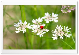 LadybirdLadybug HD Wide Wallpaper for 4K UHD Widescreen desktop & smartphone