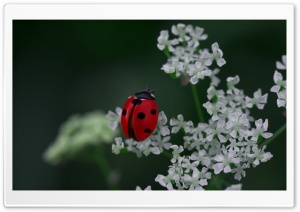 Ladybug HD Wide Wallpaper for 4K UHD Widescreen desktop & smartphone