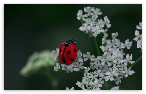 Ladybug UltraHD Wallpaper for Wide 16:10 5:3 Widescreen WHXGA WQXGA WUXGA WXGA WGA ; 8K UHD TV 16:9 Ultra High Definition 2160p 1440p 1080p 900p 720p ; Standard 4:3 3:2 Fullscreen UXGA XGA SVGA DVGA HVGA HQVGA ( Apple PowerBook G4 iPhone 4 3G 3GS iPod Touch ) ; iPad 1/2/Mini ; Mobile 4:3 5:3 3:2 16:9 - UXGA XGA SVGA WGA DVGA HVGA HQVGA ( Apple PowerBook G4 iPhone 4 3G 3GS iPod Touch ) 2160p 1440p 1080p 900p 720p ;