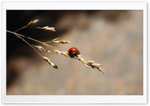 Ladybug Ultra HD Wallpaper for 4K UHD Widescreen desktop, tablet & smartphone