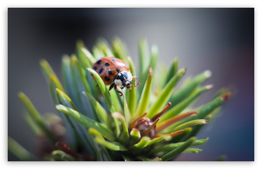 Ladybug HD wallpaper for Standard 4:3 5:4 Fullscreen UXGA XGA SVGA QSXGA SXGA ; Wide 16:10 5:3 Widescreen WHXGA WQXGA WUXGA WXGA WGA ; HD 16:9 High Definition WQHD QWXGA 1080p 900p 720p QHD nHD ; Other 3:2 DVGA HVGA HQVGA devices ( Apple PowerBook G4 iPhone 4 3G 3GS iPod Touch ) ; Mobile VGA WVGA iPhone iPad PSP Phone - VGA QVGA Smartphone ( PocketPC GPS iPod Zune BlackBerry HTC Samsung LG Nokia Eten Asus ) WVGA WQVGA Smartphone ( HTC Samsung Sony Ericsson LG Vertu MIO ) HVGA Smartphone ( Apple iPhone iPod BlackBerry HTC Samsung Nokia ) Sony PSP Zune HD Zen ; Tablet 2 Android 3 DVGA HVGA HQVGA devices ( Apple PowerBook G4 iPhone 4 3G 3GS iPod Touch ) ; Dual 4:3 5:4 16:10 5:3 16:9 UXGA XGA SVGA QSXGA SXGA WHXGA WQXGA WUXGA WXGA WGA WQHD QWXGA 1080p 900p 720p QHD nHD ;