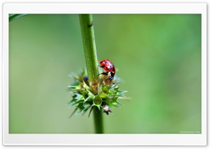 Ladybug HD Wide Wallpaper for Widescreen