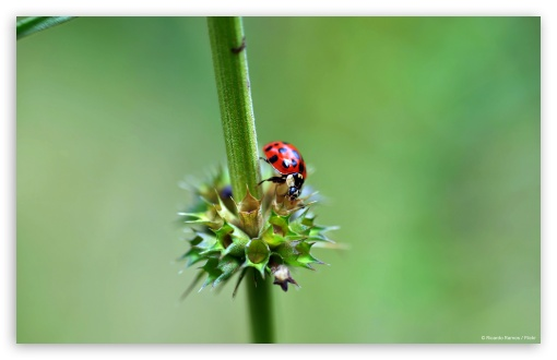 Ladybug HD wallpaper for Wide 16:10 5:3 Widescreen WHXGA WQXGA WUXGA WXGA WGA ; HD 16:9 High Definition WQHD QWXGA 1080p 900p 720p QHD nHD ; Standard 4:3 5:4 3:2 Fullscreen UXGA XGA SVGA QSXGA SXGA DVGA HVGA HQVGA devices ( Apple PowerBook G4 iPhone 4 3G 3GS iPod Touch ) ; Tablet 1:1 ; iPad 1/2/Mini ; Mobile 4:3 5:3 3:2 16:9 5:4 - UXGA XGA SVGA WGA DVGA HVGA HQVGA devices ( Apple PowerBook G4 iPhone 4 3G 3GS iPod Touch ) WQHD QWXGA 1080p 900p 720p QHD nHD QSXGA SXGA ;