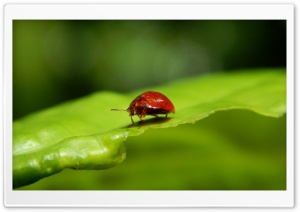 Ladybug Ultra HD Wallpaper for 4K UHD Widescreen desktop, tablet & smartphone