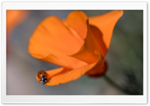 Ladybug, California Poppy, Macro HD Wide Wallpaper for Widescreen