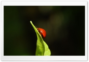 Ladybug climbing HD Wide Wallpaper for Widescreen