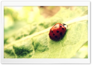Ladybug Close Up HD Wide Wallpaper for Widescreen