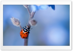 Ladybug, Forget-me-nots Flower HD Wide Wallpaper for Widescreen