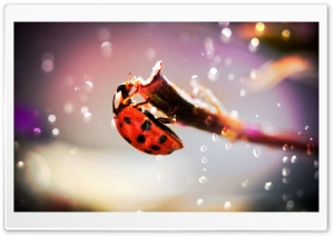 Ladybug In The Rain HD Wide Wallpaper for 4K UHD Widescreen desktop & smartphone