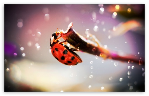 Ladybug In The Rain ❤ 4K UHD Wallpaper for Wide 16:10 5:3 Widescreen WHXGA WQXGA WUXGA WXGA WGA ; 4K UHD 16:9 Ultra High Definition 2160p 1440p 1080p 900p 720p ; Standard 4:3 5:4 3:2 Fullscreen UXGA XGA SVGA QSXGA SXGA DVGA HVGA HQVGA ( Apple PowerBook G4 iPhone 4 3G 3GS iPod Touch ) ; Tablet 1:1 ; iPad 1/2/Mini ; Mobile 4:3 5:3 3:2 16:9 5:4 - UXGA XGA SVGA WGA DVGA HVGA HQVGA ( Apple PowerBook G4 iPhone 4 3G 3GS iPod Touch ) 2160p 1440p 1080p 900p 720p QSXGA SXGA ; Dual 16:10 4:3 5:4 WHXGA WQXGA WUXGA WXGA UXGA XGA SVGA QSXGA SXGA ;