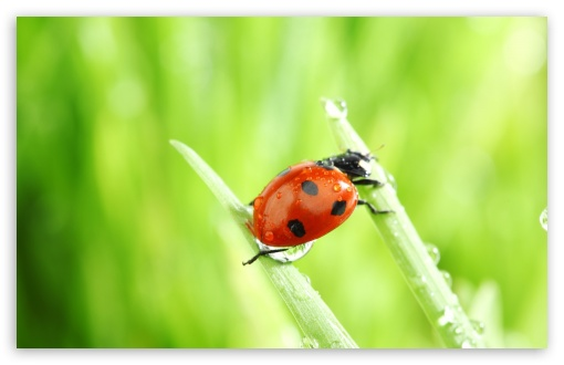 Ladybug Macro HD wallpaper for Wide 16:10 5:3 Widescreen WHXGA WQXGA WUXGA WXGA WGA ; HD 16:9 High Definition WQHD QWXGA 1080p 900p 720p QHD nHD ; Standard 4:3 5:4 3:2 Fullscreen UXGA XGA SVGA QSXGA SXGA DVGA HVGA HQVGA devices ( Apple PowerBook G4 iPhone 4 3G 3GS iPod Touch ) ; Tablet 1:1 ; iPad 1/2/Mini ; Mobile 4:3 5:3 3:2 16:9 5:4 - UXGA XGA SVGA WGA DVGA HVGA HQVGA devices ( Apple PowerBook G4 iPhone 4 3G 3GS iPod Touch ) WQHD QWXGA 1080p 900p 720p QHD nHD QSXGA SXGA ; Dual 16:10 5:3 16:9 4:3 5:4 WHXGA WQXGA WUXGA WXGA WGA WQHD QWXGA 1080p 900p 720p QHD nHD UXGA XGA SVGA QSXGA SXGA ;