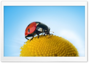 Ladybug Macro HD Wide Wallpaper for 4K UHD Widescreen desktop & smartphone