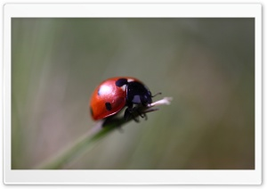 Ladybug Macro HD Wide Wallpaper for Widescreen