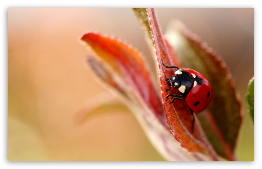 Ladybug Macro ❤ 4K UHD Wallpaper for Wide 16:10 5:3 Widescreen WHXGA WQXGA WUXGA WXGA WGA ; 4K UHD 16:9 Ultra High Definition 2160p 1440p 1080p 900p 720p ; Standard 4:3 5:4 3:2 Fullscreen UXGA XGA SVGA QSXGA SXGA DVGA HVGA HQVGA ( Apple PowerBook G4 iPhone 4 3G 3GS iPod Touch ) ; Tablet 1:1 ; iPad 1/2/Mini ; Mobile 4:3 5:3 3:2 16:9 5:4 - UXGA XGA SVGA WGA DVGA HVGA HQVGA ( Apple PowerBook G4 iPhone 4 3G 3GS iPod Touch ) 2160p 1440p 1080p 900p 720p QSXGA SXGA ;