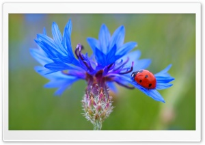 Ladybug On A Blue Cornflower Plant HD Wide Wallpaper for 4K UHD Widescreen desktop & smartphone