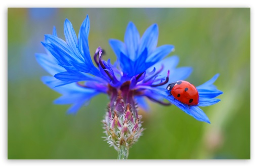Ladybug On A Blue Cornflower Plant ❤ 4K UHD Wallpaper for Wide 16:10 5:3 Widescreen WHXGA WQXGA WUXGA WXGA WGA ; 4K UHD 16:9 Ultra High Definition 2160p 1440p 1080p 900p 720p ; UHD 16:9 2160p 1440p 1080p 900p 720p ; Standard 4:3 5:4 3:2 Fullscreen UXGA XGA SVGA QSXGA SXGA DVGA HVGA HQVGA ( Apple PowerBook G4 iPhone 4 3G 3GS iPod Touch ) ; Smartphone 5:3 WGA ; Tablet 1:1 ; iPad 1/2/Mini ; Mobile 4:3 5:3 3:2 16:9 5:4 - UXGA XGA SVGA WGA DVGA HVGA HQVGA ( Apple PowerBook G4 iPhone 4 3G 3GS iPod Touch ) 2160p 1440p 1080p 900p 720p QSXGA SXGA ; Dual 16:10 5:3 16:9 4:3 5:4 WHXGA WQXGA WUXGA WXGA WGA 2160p 1440p 1080p 900p 720p UXGA XGA SVGA QSXGA SXGA ;