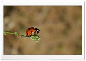 Ladybug On A Bud HD Wide Wallpaper for Widescreen