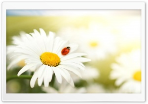 Ladybug On A Daisy HD Wide Wallpaper for Widescreen