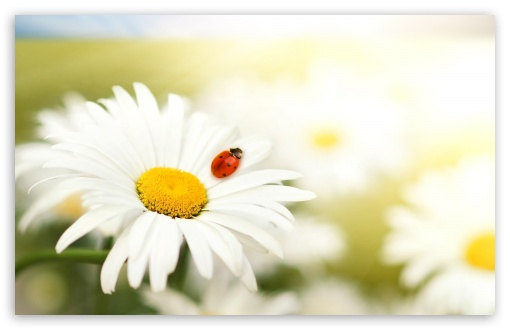Ladybug On A Daisy HD wallpaper for Wide 16:10 5:3 Widescreen WHXGA WQXGA WUXGA WXGA WGA ; HD 16:9 High Definition WQHD QWXGA 1080p 900p 720p QHD nHD ; Standard 4:3 5:4 3:2 Fullscreen UXGA XGA SVGA QSXGA SXGA DVGA HVGA HQVGA devices ( Apple PowerBook G4 iPhone 4 3G 3GS iPod Touch ) ; Tablet 1:1 ; iPad 1/2/Mini ; Mobile 4:3 5:3 3:2 16:9 5:4 - UXGA XGA SVGA WGA DVGA HVGA HQVGA devices ( Apple PowerBook G4 iPhone 4 3G 3GS iPod Touch ) WQHD QWXGA 1080p 900p 720p QHD nHD QSXGA SXGA ;