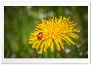 Ladybug On A Dandelion Flower HD Wide Wallpaper for 4K UHD Widescreen desktop & smartphone