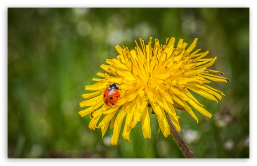 Ladybug On A Dandelion Flower ❤ 4K UHD Wallpaper for Wide 16:10 5:3 Widescreen WHXGA WQXGA WUXGA WXGA WGA ; 4K UHD 16:9 Ultra High Definition 2160p 1440p 1080p 900p 720p ; UHD 16:9 2160p 1440p 1080p 900p 720p ; Standard 4:3 5:4 3:2 Fullscreen UXGA XGA SVGA QSXGA SXGA DVGA HVGA HQVGA ( Apple PowerBook G4 iPhone 4 3G 3GS iPod Touch ) ; Smartphone 5:3 WGA ; Tablet 1:1 ; iPad 1/2/Mini ; Mobile 4:3 5:3 3:2 16:9 5:4 - UXGA XGA SVGA WGA DVGA HVGA HQVGA ( Apple PowerBook G4 iPhone 4 3G 3GS iPod Touch ) 2160p 1440p 1080p 900p 720p QSXGA SXGA ; Dual 16:10 5:3 16:9 4:3 5:4 WHXGA WQXGA WUXGA WXGA WGA 2160p 1440p 1080p 900p 720p UXGA XGA SVGA QSXGA SXGA ;