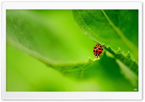 Ladybug On A Green Leaf HD Wide Wallpaper for Widescreen